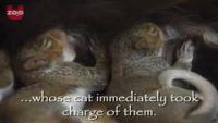 Cat Adopts Baby Squirrels