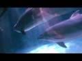 Dolphin Bubbles: An Amazing Behavior