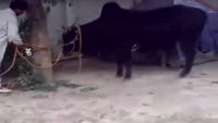 Angry Bull Before Qurbani - Cow Qurbani Attack Funny Video