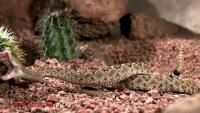 Slow motion Rattle Snake strikes