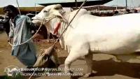 Beautiful White Bull 2016
