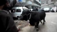 Dangerous Cow Qurbani