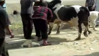Dangerous And Out Of Control Bull Qurbani