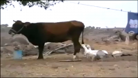 Cow vs Duck Fight