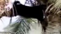 Amazing Arabic Bakra(Goat)