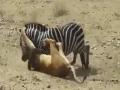 Loin Vs Zebra