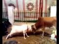 Goat vs Cow