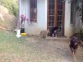 Lion Cub Scares The Dog