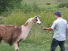 Llama Attacked The Man