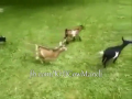 Karachi Cow Mandi Little Baby Goat Playing