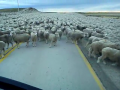 Big Crowd Of Sheeps On The Road