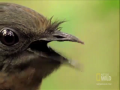 World's Weirdest - Bird Mimics Chainsaw, Car Alarm and More