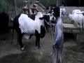 Afzal Memon Cattle Farm 2014