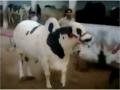 Jamal Cattle Farm 2014