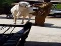 Rahman Cattle Farm 2014