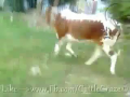 Cow Run In The Park