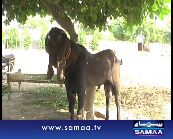Doodh Dane Wala Bakra - Must Watch