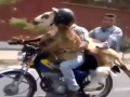 Bakra On Bike Wearing Helmets