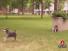 Fake Dog Attacks Real Dog