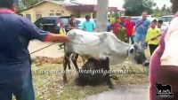 Aggressive Cow Attack