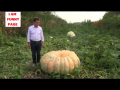 Giant Pumpkin Found