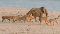 Brave Baby Elephant Survived After Attacked By 14 Lions