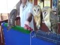 Owl Dancing On Song