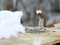 Too Funny Chipmunk Steal The Whole Fake Snow