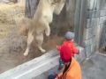 Fearless Baby Playing With Lion