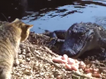 Brave Cat Fought With Alligator