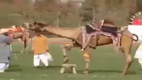 Very Skilled Camel In Camel Show