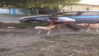 Dog Climbs On Flat Wall In Slow Motion