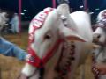 Rahman Cattle Farm 2015 Cow Mandi