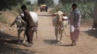 Upcoming Cows For 2015 In Sohrab Goth Gai Mandi 2015 - Sindh Cattle Farm