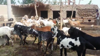 Big Bakray Husnain Goat Farming 2015 Bakra Mandi Lahore