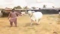 White Queen Shah Cattle Farm 2015 - Karachi Gaen Mandi 2015