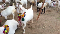 Bakra'S For Qurbani For Sale 2015 Karachi Cow Mandi 2015