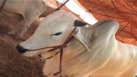 Beautiful Sibbi Cow For Eid Ul Azha - Sibi Qurbani Bulls 2015