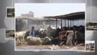 Giant Qurbani Cow, Bulls, Sibbi, Sahiwal Bachre Rabbani Cattle New 2015