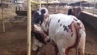 Qurbani Bulls Karachi Cattle Farm 2015