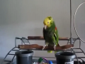 Parrot Cries Like Baby