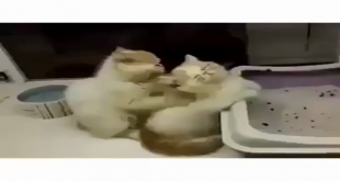 Cat Giving Massage To Other Cat (Funny)