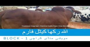Allah Rakha Cattle Farm 2016 Sohrab Goth Mandi