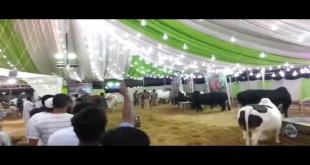 Cows Catwalk In Afridi Cattle Farm 2016 Sohrab Goth Mandi