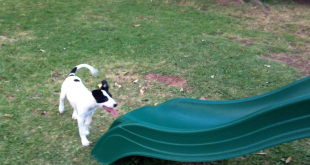 Cute Puppy Faces A Slippery Slide