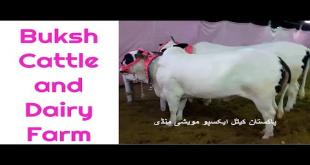 Buksh Cattle Farm 2016 Sohrab Goth Mandi
