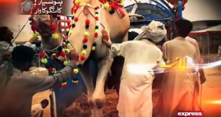 Watch this informative video before buying Sacrificial animal