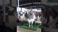 Kids Playing With Bull