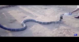 Check How This Guy Giving Water To Thirsty Snake