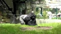 Gorilla Pranks Berlin Zoo Workers